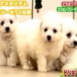 天才!志村どうぶつ園 当犬舎のビションフリーゼテレビ出演